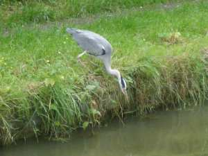 A heron poised for the kill!
