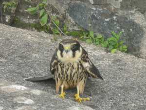 Injured sparrowhawk
