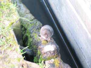Slightly blurred but a great view of the shrew