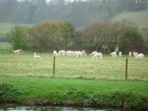 Local colour - a few members of a much larger herd of Llamas (or alpacas) in a riverside meadow