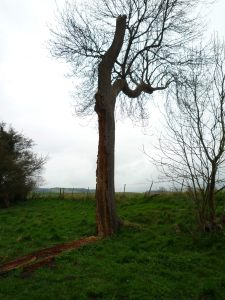 Dramatic tree - still alive despite being blasted and eaten by woodworm