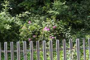 Invasive Rhododendron on the embankment - pretty though!