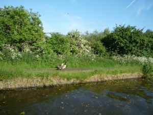 Canada geese enjoying a stroll along the towpath...