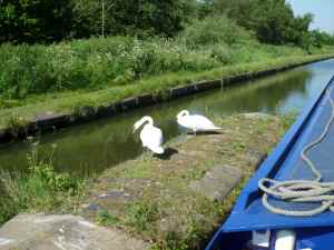 Confident swans on the Tame Valley Canal