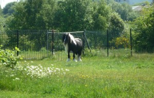 A 'lovely maned' horse by the Tame Valley Canal