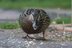 The ducks are exceptionally tame around here...and greedy!