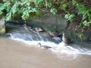 Ducks enjoying the bywash