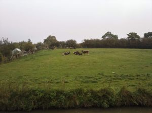 Long horned cattle