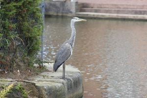 Bold heron on the Runcorn Arm
