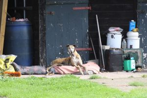 Chas Harden's thoroughly relaxed greyhound