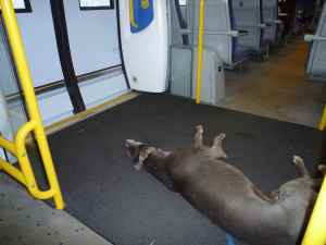 Blue stretched out on the train - he was disgruntled when he had to make way for the crowds a few stops down the line....