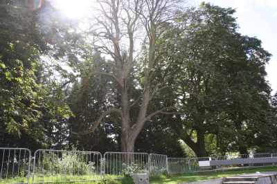 The horsechestnut trees at Grafton lock are diseased and dying - they will be cut back this winter - grim, especially in the light of the news about the spreading disease that might kill off our ash trees...