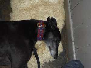 Ollie at the Globe - he doesn't particularly like sausages so he had snooze instead!