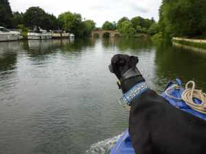 Archie Beanz keeping a lookout below Sonning Bridge...