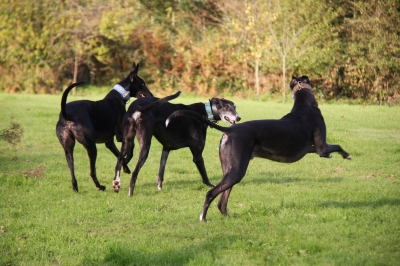 Smoothie (ventre) enjoying zoomies with Archie and Henry - he was a perfect gentleman - even when running with six black boys - we have some great photos but most are blurred with the speed of their running :-D