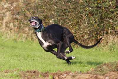 A Greyhound in full flight is great to see, best of all they are so joyful about it!