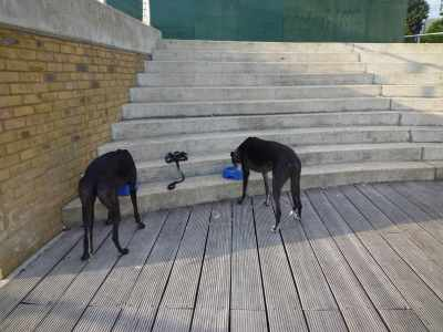Staines-on-Thames - we agents have to check whether this association with the Royal river is deserved - this is me and agent 007 (Henry Has-Beanz) checking the suitability of the built environment. Nom nom, you, these hound feeding steps pass muster...