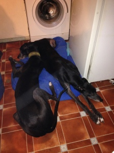 Big Sid is a helpin' hound - fis time he's cuddlin' Ty coz Ty woz scared, or woz they queuing for fud wot cums from the washin' machine room...