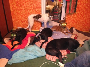 "Five of the seven hounds who greeted us when we got home - Herbie's out of shot because he's lying by HIS radiator and Ty is convalescing in the conservatory. Now which of these hounds is new boy ""Red""? :-)"