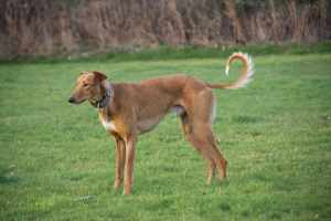 Chance (aka Red) is such a good looking hound...