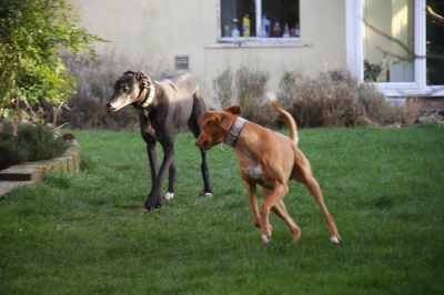 Chance is always inviting the hounds to play :-)