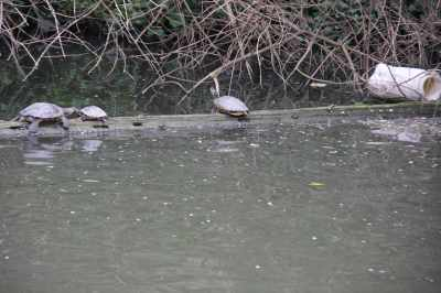 Terrapins - unusual for them to pose for a photo...