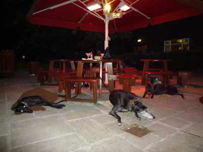 Happy hounds! Full of dinner and toasty under the garden heaters :-)