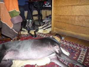 The hounds enjoying dinner at the Three Greyhounds - Ty was pleased that we found him a safe corner; Herbie was pleased that he could lie in the way of passing fuss :-)