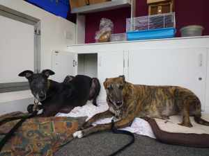 Ty at a Greyhoundhomer show - he would do public appearances provided he could have a den in the trailer :-)
