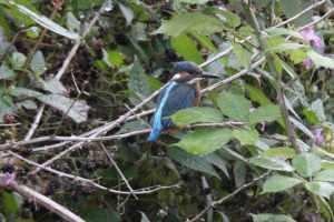Kingfisher ;-0