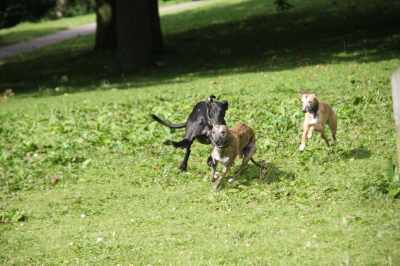 Although Archie looks disconcertingly like a cheetah running down a gazelle, no whippets were harmed in the making of this photo!