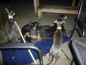 Happy hounds at the pub - I had taken a sheepie each from them so I don't why four of the six hounds piled onto this one!